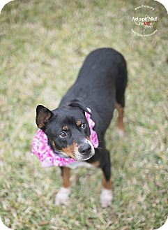 Cattle Dog/Border Collie Mix Dog for adoption in Kingwood, Texas - Mamma Mia
