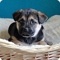 Adopt A Pet :: Chip - Waldorf, MD