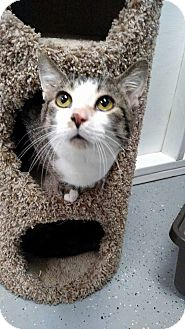 Domestic Shorthair Cat for adoption in Austintown, Ohio - Frankie