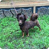 Adopt A Pet :: Mr Brown Bear - Longview, TX