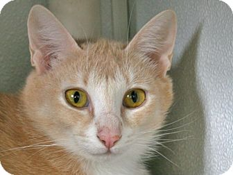 Domestic Shorthair Cat for adoption in Republic, Washington - Bellevue VALENTINE'S SPECIAL!