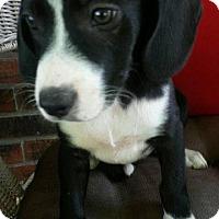 Adopt A Pet :: Rachel - Aurora, CO