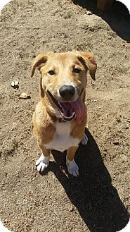 Shepherd (Unknown Type) Mix Dog for adoption in Petaluma, California - Baxter