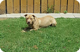 American Pit Bull Terrier Mix Dog for adoption in White Settlement, Texas - Nike