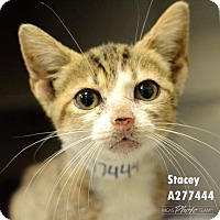 Munchkin Kitten for adoption in Conroe, Texas - STACEY