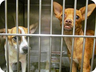 Chihuahua Dog for adoption in Chester, South Carolina - LARRY C-16-1126