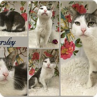 Domestic Shorthair Cat for adoption in Joliet, Illinois - Parsley