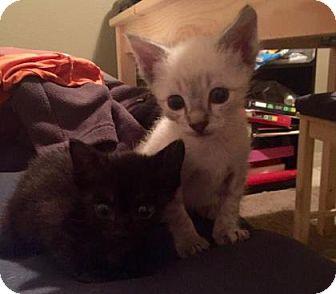 Siamese Kitten for adoption in Austin, Texas - Dalia
