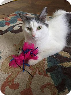 Domestic Mediumhair Cat for adoption in Frankfort, Illinois - Wilma (&Pebbles)