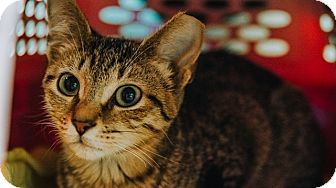 Domestic Shorthair Kitten for adoption in Indianapolis, Indiana - Martok