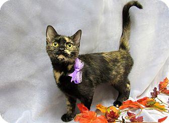 Domestic Shorthair Kitten for adoption in Lexington, North Carolina - BENNIE