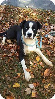 Husky/Pit Bull Terrier Mix Dog for adoption in Randleman, North Carolina - Blue eyes
