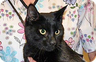 Domestic Shorthair Cat for adoption in Wildomar, California - Onyx