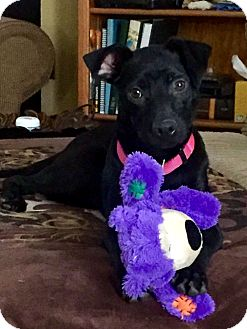 Labrador Retriever/Pit Bull Terrier Mix Puppy for adoption in San Antonio, Texas - Bonnie
