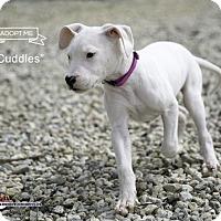 Adopt A Pet :: Cuddles - Acton, CA