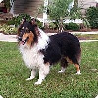 Adopt A Pet :: Brooke - Columbia, SC