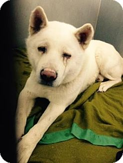 Akita Dog for adoption in Hayward, California - Blanco