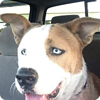 Adopt A Pet :: Elijah Blue - Ocean Ridge, FL