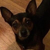 Adopt A Pet :: Batman - Martinez, GA