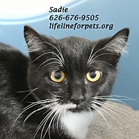 Domestic Shorthair Cat for adoption in Monrovia, California - A Young Female: SADIE
