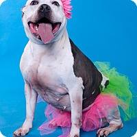 Adopt A Pet :: Cocoa - Chicago, IL