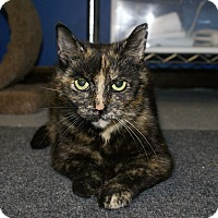 Domestic Shorthair Cat for adoption in Austintown, Ohio - Erin