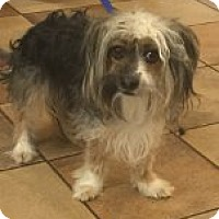 Adopt A Pet :: Sprocket - Las Vegas, NV