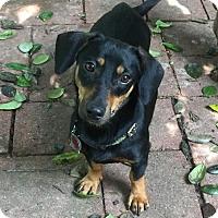 Adopt A Pet :: Sunnie - Pearland, TX