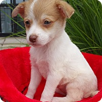 Adopt A Pet :: Poly - Bridgeton, MO