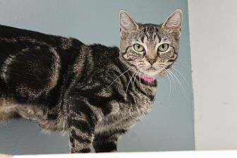 Domestic Shorthair Cat for adoption in Medina, Ohio - Macy Rae