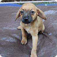 Adopt A Pet :: Justin - Sacramento, CA