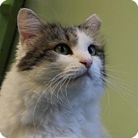 Adopt A Pet :: Little Feather - Indianapolis, IN