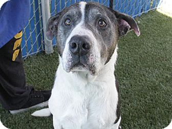 Pit Bull Terrier Mix Dog for adoption in Hawthorne, California - Cherry