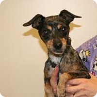 Chihuahua Mix Dog for adoption in Wildomar, California - Michael
