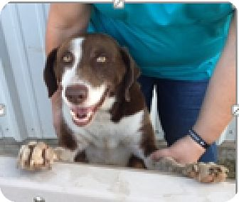 Border Collie/Labrador Retriever Mix Dog for adoption in Cat Spring, Texas - Ace