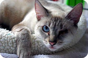 Siamese Cat for adoption in Longview, Washington - CeeCee