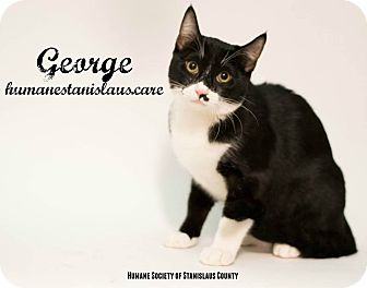 Domestic Shorthair Kitten for adoption in Modesto, California - George
