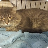 Domestic Longhair Cat for adoption in Stafford, Virginia - Brutus