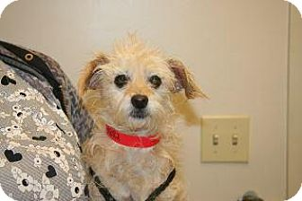 Cairn Terrier Mix Dog for adoption in Wildomar, California - Gia
