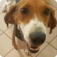 Treeing Walker Coonhound Dog for adoption in Manchester, New Hampshire - Whitney