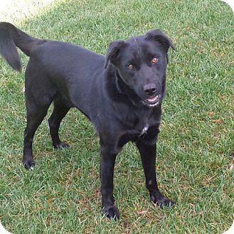 Labrador Retriever/Husky Mix Dog for adoption in Minneapolis, Minnesota - Ben