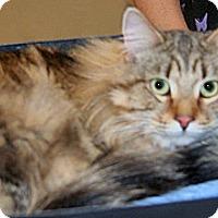 Domestic Mediumhair Cat for adoption in Wildomar, California - Jax