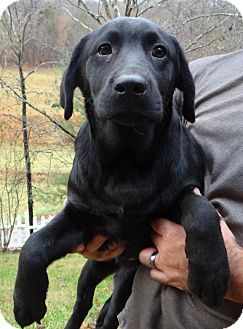 Labrador Retriever Puppy for adoption in Wheeling, West Virginia - JINGLES