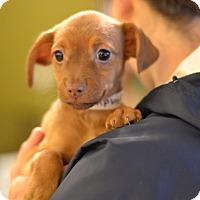 Adopt A Pet :: Burgundy - Wine Litter - Acworth, GA