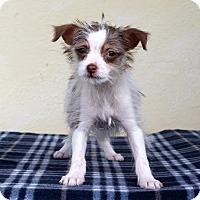 Adopt A Pet :: Harper - Tiny - Los Angeles, CA