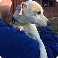 Adopt A Pet :: Presley - Washington, DC