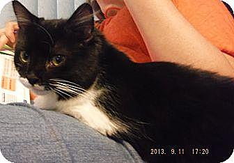 Domestic Mediumhair Kitten for adoption in Saint Albans, West Virginia - Marie