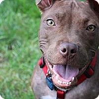 Adopt A Pet :: Stitch - Shrewsbury, NJ