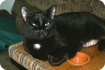 Domestic Shorthair Cat for adoption in Columbus, Ohio - Star