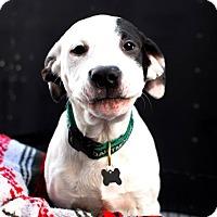 Adopt A Pet :: Ace - Detroit, MI